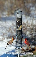 00585-028.14 Northern Cardinals male & female & American Goldfinches on sunflower tube feeder in winter Marion Co.  IL