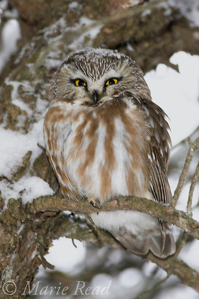 Northern Saw-whet Owl (Aegolius acadicus), roosting in snowy conifer (Jack Pine), Amherst Island, Ontario, Canada