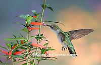 01162-09815 Ruby-throated Hummingbird (Archilochus colubris) female at Cigar Plant (Cuphea ignea)  Marion Co. IL