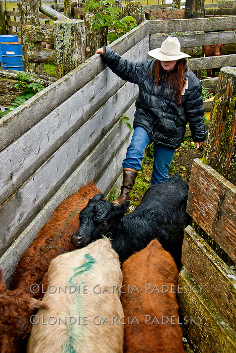Rochelle pushing calves through the cattle chutes, Pasagshak Ranch on Kodiak Island,  Southwest Alaska
