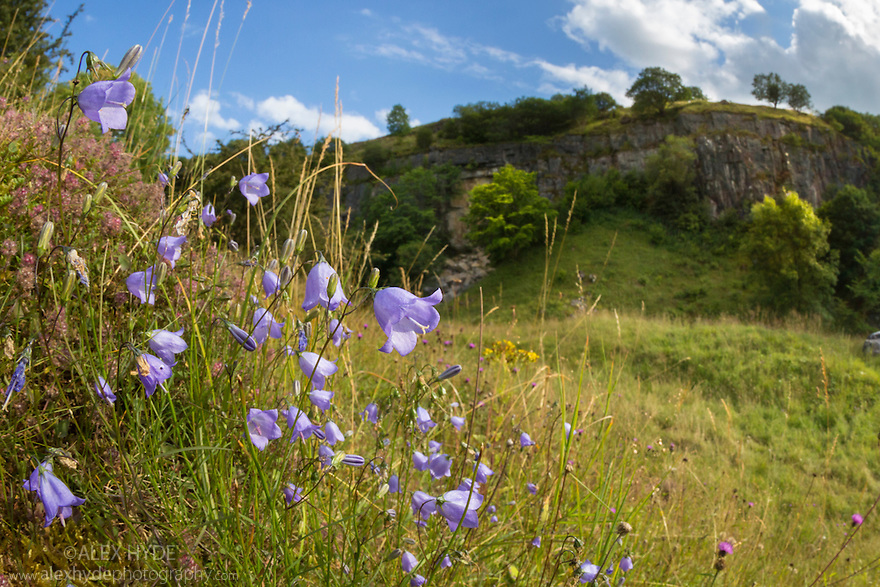 Harebells (Campanula rotundifolia) growing in disused limestone quarry. Peak District National Park, Derbyshire, UK. August.