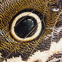 Owl Butterfly wing macro of wing pattern details, Mashpi Cloud Forest, Choco Rainforest, Ecuador, South America