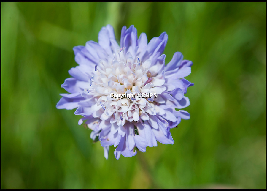 BNPS.co.uk (01202) 558833<br /> Picture: PhilYeomans/BNPS<br /> <br /> Wild Scabious.<br /> <br /> Long hot summer a boost for the bee man of Salisbury Plain.<br /> <br /> One of Britains last wilderness area's is a hive of activity this summer as an army of busy bees swarm across Salisbury plain in Wiltshire.<br /> <br /> Major Chris Wilkes commands an astonishing 8 million bees in 150 hives dotted across the unique enviroment of the plain. The chalkland host's an amazingly wide range of rare wildflowers as 60,000 acres of SSSI have never been treated with modern pesticides.<br /> <br /> The wet winter and dry spring have produced perfect conditions for the diverse flora of the grasslands, with the isolation of the plain creating a cornucopia of the top nectar flowers in the UK  producing a honey with the distinctive flavour of one of Britains last wilderness areas.