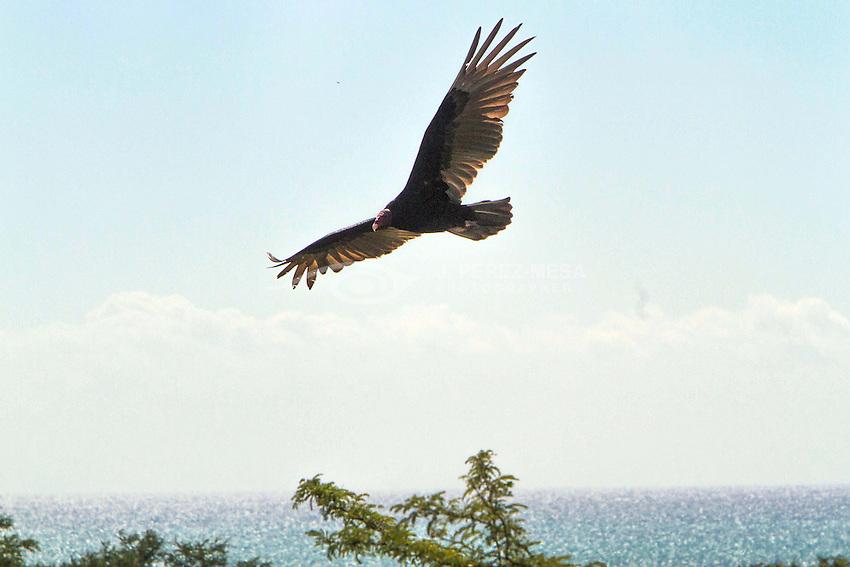 Turkey Vulture (Aura Tiñosa), Cathartes aura at Cabo Rojo Wildlife Refuge, Cabo Rojo, Puerto Rico. (Photo © J. Perez-Mesa / 2012).
