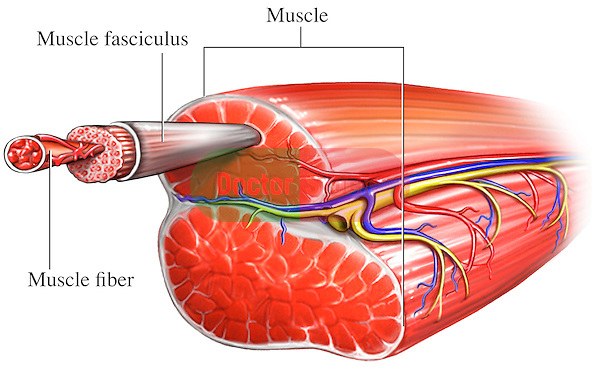 Muscle Fiber Doctor Stock