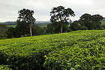Tea plantation bordering protected rainforest, Kibale National Park, western Uganda