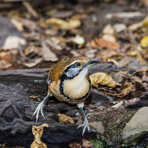 The distinctive facial markings of the Greater Necklaced Laughingthrush (Garrulax pectoralis).  (Kaeng Krachan, Thailand)