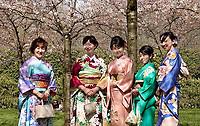 Nederland Amstelveen 2018. Cherry Blossom Festival in het Amsterdamse Bos . Het Japanse Hanami Matsuri (Kersenbloesem festival) markeert de start van de lente. Volgens traditie vieren families en vrienden dit met een picknick onder de kersenbomen die in bloei staan. De gemeente Amstelveen organiseert dit festival voor de Japanse gemeenschap, als dank voor de schenking van 400 kersenbomen in 2000. Foto Berlinda van Dam / Hollandse Hoogte