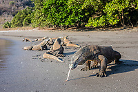 Komodo dragon, Varanus komodoensis, showing forked tongue, on black sand beach, the largest lizard species in the world, Komodo National National Park, Komodo, Lesser Sunda Islands, Indonesia, Indo-Pacific Ocean