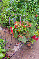 Rusting old flea market chair furniture being used as container in the garden, herb Thymus thymes, begonia flowers, fennel in pot at base, vintage rusting old objects as ornaments.