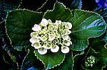 Flores. Hortênsias. (Hydrangea macrophylla). SP. Foto de Maristela Colucci.