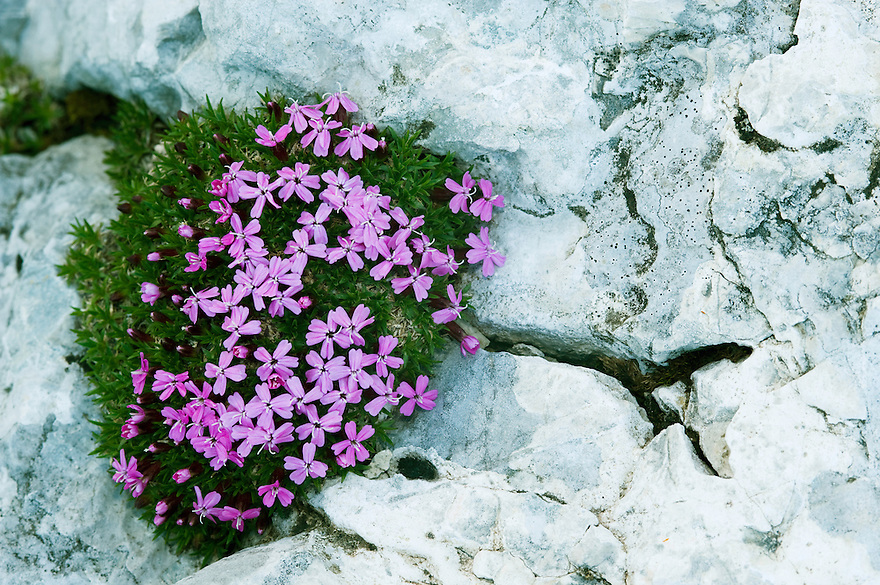 Moss campion (Silene acaulis)<br /> Triglav National Park, Slovenia<br /> July 2009