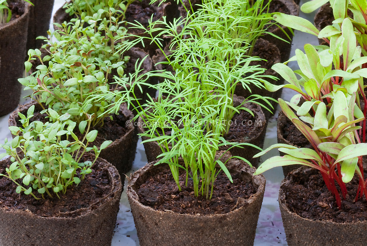 Seedlings: Thymus vulgaris, Dill, Chard in peat pots, starting seeds