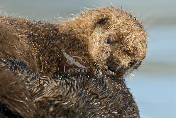 Sea Otter (Enhydra lutris) pup.