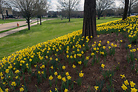 Spring Daffodils in bloom at MSU Amphitheater.<br />  (photo by Megan Bean / &copy; Mississippi State University)