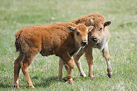 Buffalo Calves, Yellowstone National Park