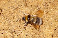 Bumble Bee - Bombus ruderatus