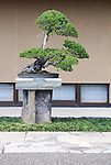 "Photo shows ""Chihiro"", a Japanese five-needle pine  tree  on display at the Saitama Omiya Bonsai Museum of Art in Saitama, Japan on 15 Aug. 2011..Photographer: Robert Gilhooly"