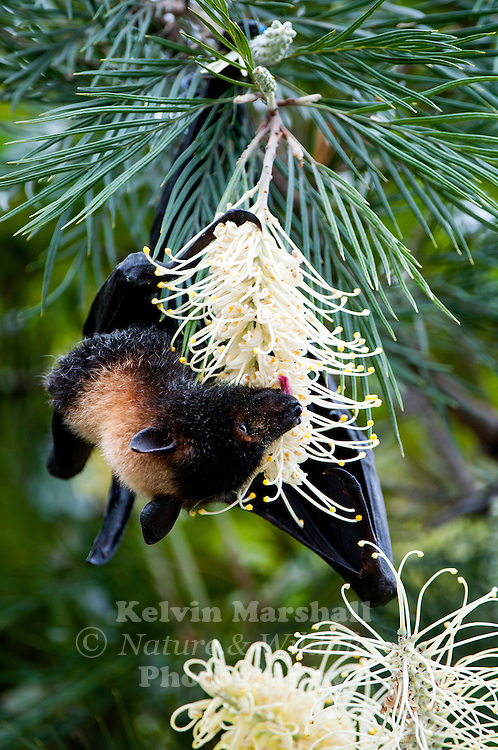 Spectacled flying fox (Pteropus conspicillatus) - Feeding on the nectar of a local Grevillea , also known as the spectacled fruit bat, is a megabat that lives in Australia's north-eastern regions of Queensland. Kuranda, Far - North Queensland Australia.