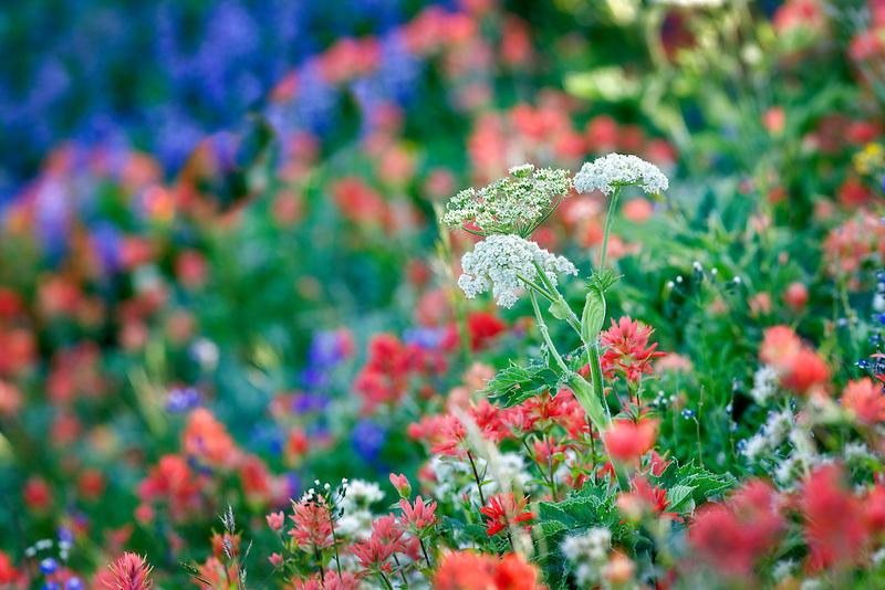 Mixed wildflowers. Mostly lupine,paintbrush. Hurricane Ridge. Olympic National Park. Washington.