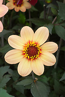 Dahlia (Happy Single Series) 'First Love', single creamy yellow type with dark foliage