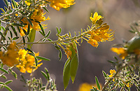 Isomeris arborea (Bladderpod) flower detail, Living Desert, Palm Springs, Ca.