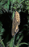 Painted Lady Butterfly, Cynthia cardui, pupae or chrysalis, haning on stinging nettle.United Kingdom....