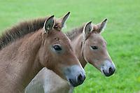Przewalski-Pferd, Fohlen, Przewalskipferd, Przewalski Wildpferd, Asiatisches Wildpferd, Mongolisches Wildpferd, Equus ferus przewalskii, Equus przewalskii, Przewalski's Horse, Asian Wild Horse, Mongolian Wild Horse