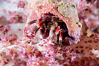Beautiful Hermit Crab, Calcinus pulcher, on coral, night dive, Cuts and Grottos dive site, Tutuntute, near Uhak village, Wetar Island, near Alor, Indonesia, Banda Sea, Pacific Ocean