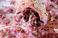 Beautiful Hermit Crab, Calcinus pulcher, on coral, night dive, Cuts and Grottos dive site, Tutuntute, near Uhak village, Wetar Island, near Alor, Indonesia, Banda Sea, Pacific Ocean