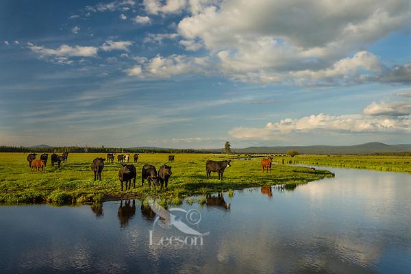 Timmerman Ranch, cattle, Williamson River, Oregon. Evening.