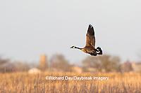 00748-05808 Canada Goose (Branta canadensis) in flight, Marion County, IL