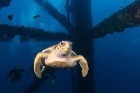 loggerhead sea turtle, Caretta caretta, swimming thru oil rig structure - pylongs, legs, Texas Flower Gardens National Marine Sanctuary, Texas, USA, Gulf of Mexico, Atlantic Ocean