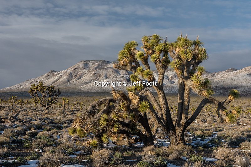 Joshua Tree (Yucca brevifolia) ,Lee Flat in Death Valley after winter snow storm.