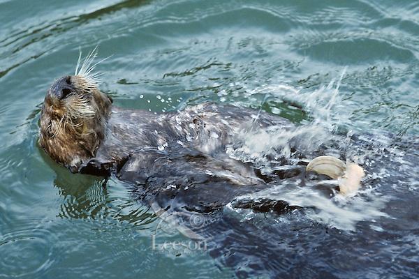 Southern sea otter (Enhydra lutris nereis) using tool--cracking clam on rock.  California.
