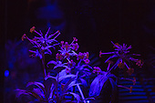 "London, UK. 5 February 2015. Kew Gardens features flower under ultraviolet light during the festival. ""Alluring Orchids"" is the first festival on the Royal Botanic Gardens' 2015 calendar which showcases thousands of exotic and rare flowers in the Princess of Wales Conservatory from 7 February to 8 March 2015."