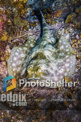 13 June 2014: A Yellow Stingray (Urobatis jamaicensis) is seen at Schoolhouse Reef, on the North Shore of Grand Cayman Island. Located in the British West Indies in the Caribbean, the Cayman Islands are renowned for excellent scuba diving, snorkeling, beaches and banking.  Mandatory Credit: Ed Wolfstein Photo *** RAW (NEF) Image File Available ***