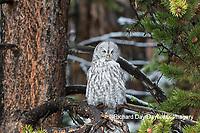 01128-00206 Great Gray Owl (Strix nebulosa) Yellowstone National Park, WY