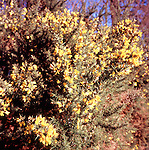 Yellow flowers  Common Gorse Ulex europaeus