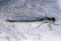 Großes Granatauge, Grosses Granatauge, Weibchen, Erythromma najas, Agrion najas, Red-eyed Damselfly, Large Redeye, female