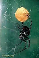 SI24-006d   Black Widow Spider with egg case - Latrudectus mactans