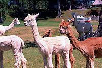 Near Sointula, Malcolm Island, BC, British Columbia, Canada - Alpacas on Pasture