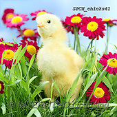 Xavier, EASTER, OSTERN, PASCUA, photos+++++,SPCHCHICKS41,#e#, EVERYDAY ,chicken