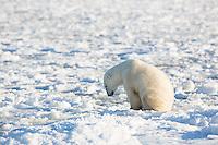 01874-13913 Polar Bear (Ursus maritimus) in Churchill Wildlife Management Area, Churchill, MB Canada