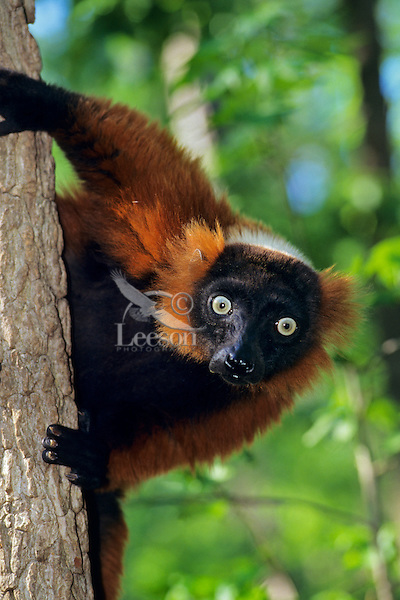 Red Ruffed Lemur (Varecia variegata), Endangered Species.  Found only in the forests of eastern Madagascar.  V. variegata is the largest living member of the Lemur family.