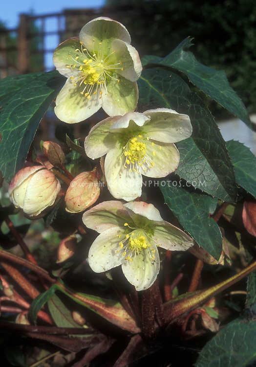 Helleborus ericsmithii, in flowers with buds