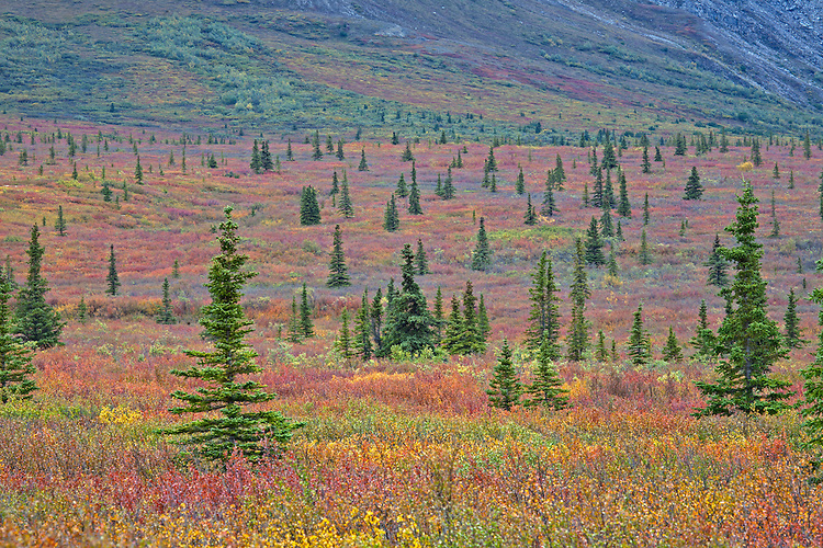 A normally barren tundra comes to life with color in Denali National Park and Preserve, Alaska, USA