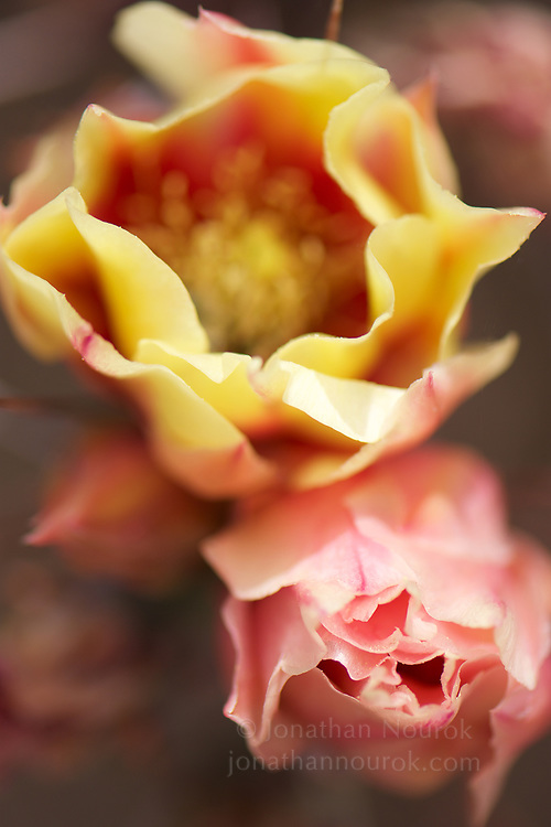A close-up of cactus flowers.