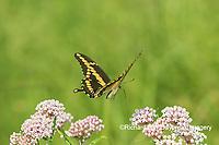03017-01410 Giant Swallowtail (Papilio cresphontes) in flight near Swamp Milkweed (Asclepias incarnata) Marion Co. IL