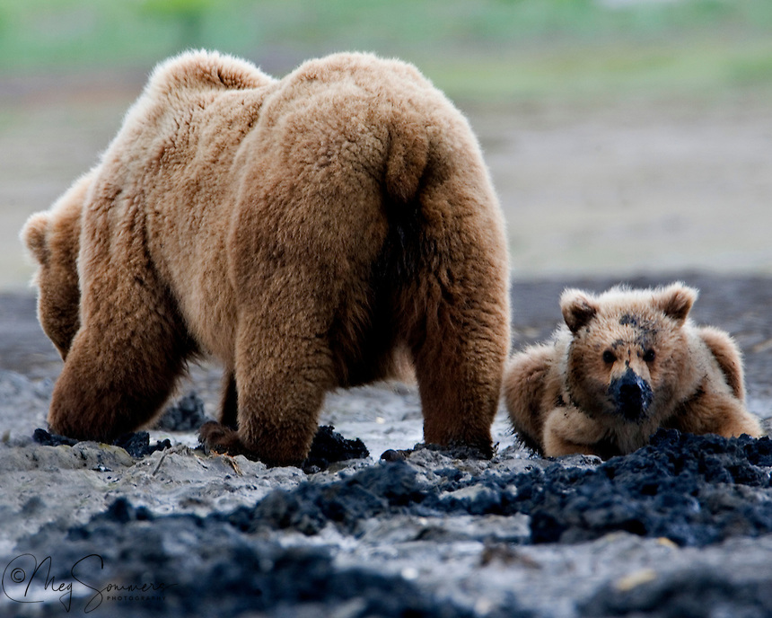 Mom makes digging for clams so easy! This Alaskan brown bear (Ursus arctos middendorffi) cub has much to learn. Halo Bay, Katmai National Park.